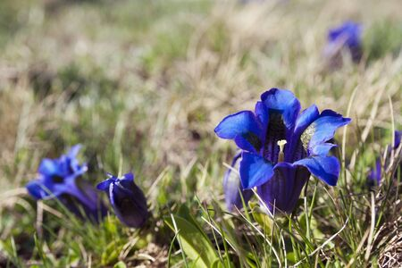 gentian flower: Blue Gentian flowers Stock Photo