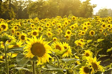 Tournesols et sunbeams Banque d'images - 49189967
