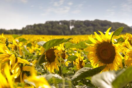 energies: Agricultural Sun flowers field Stock Photo