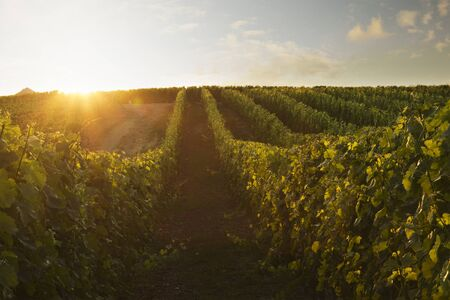 wineyard: Wine plants with nice sunrise