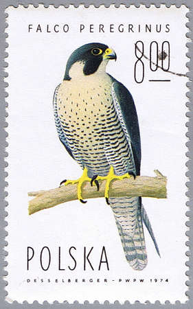 devoted: POLAND � CIRCA 1974: A stamp printed in Poland shows Falco peregrinus, series devoted to the birds, circa 1974