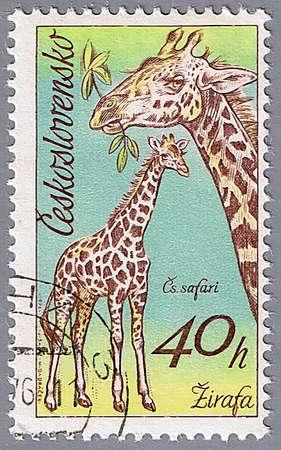 czechoslovakia: CZECHOSLOVAKIA - CIRCA 1976: A stamp printed in Czechoslovakia shows giraffe, a series of African animals in Dvur Kralove Zoo, circa 1976 Stock Photo