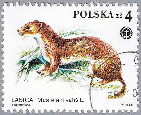 weasel: POLAND - CIRCA 1984: A stamp printed in Poland shows weasel, a series devoted to protected animals, circa 1984