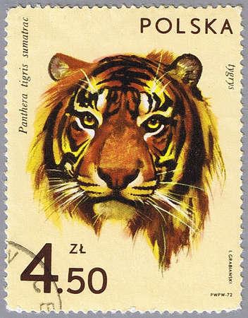sumatran tiger: POLAND - CIRCA 1972: A stamp printed in Poland shows tiger, series is devoted to animal zoo, circa 1972