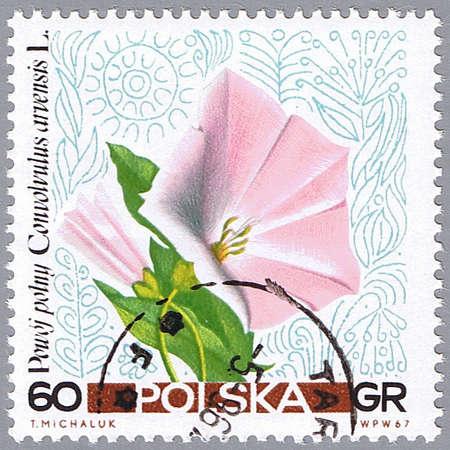 POLAND - CIRCA 1967: A stamp printed in Poland shows Morning glory, series, circa 1967 photo