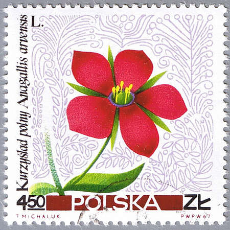 POLAND - CIRCA 1967: A stamp printed in Poland shows common pimpernel, series, circa 1967