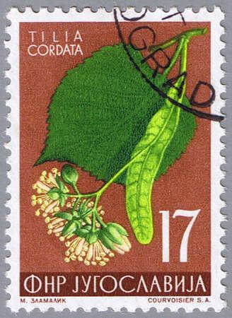 linden tea: YUGOSLAVIA - CIRCA 1955: A stamp printed in Yugoslavia shows linden, series, circa 1955