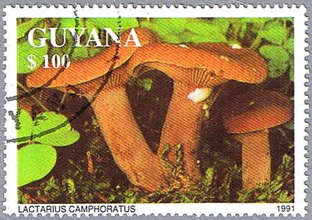 lactarius: GUYANA - CIRCA 1991: A stamp printed in Guyana shows Lactarius camphoratus or candy cap or curry milkcap, series, circa 1991