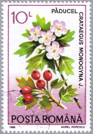 ROMANIA - CIRCA 1993: A stamp printed in Romania shows Crataegus monogyna or common hawthorn, series is devoted to medicinal plants, circa 1993