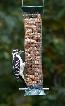 Hungry Downy Woodpecker (Picoides pubescens) eating peanuts from a bird feeder. The smallest of the species native to North America, photographed New York. Black and White features. Natural background