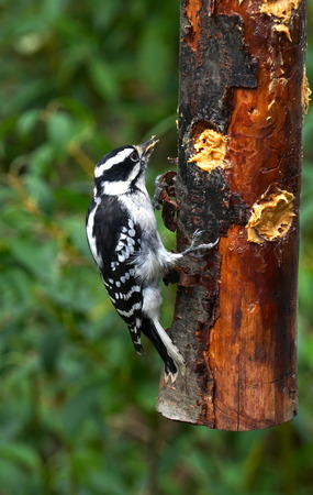 Downy Woodpecker hungry for food eats from a homemade wooden bird feeder in New York. Natural forest background. Native species to North America. Vertical frame photograph.