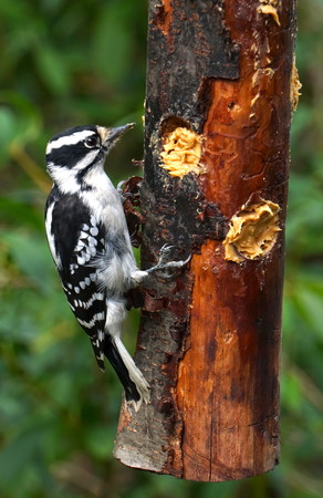 Downy Woodpecker hungry for food eats from a homemade wooden bird feeder in New York. Natural forest background. Native species to North America. Vertical framed photo.