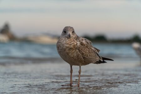 Close up seagull bird standing on coastal shore next to a large lake in the evening time