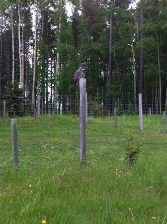 fence: Grey owl on fence post