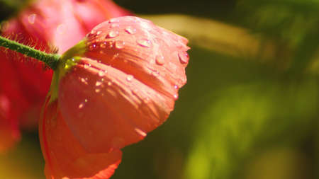 Tulip with water drops on petals