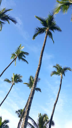 Palm trees with blue sky. Stock Photo