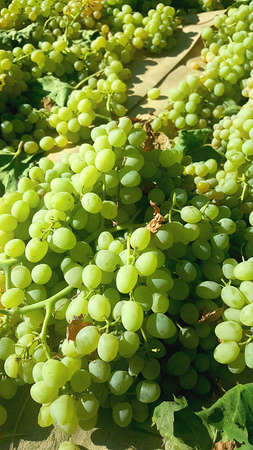 Grapes pulled for harvest