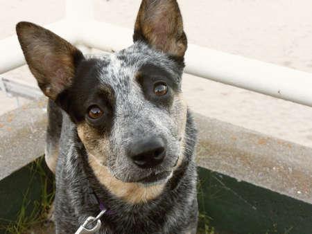 heeler: Blue heeler dog