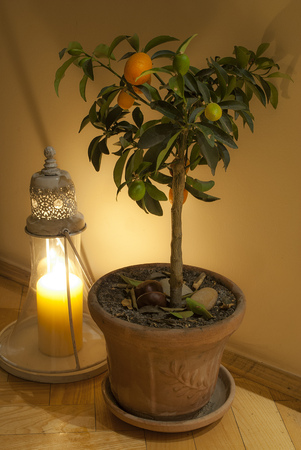 Small orange tree with oriental candle holder photo