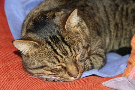 A brown tabby domestic cat closeup sleeping portrait