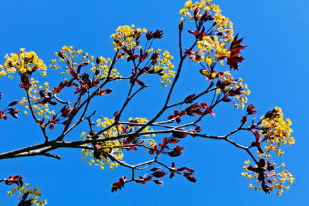 dept: branches with yellow  flowers in nature on the blue background, note shallow dept of field Stock Photo