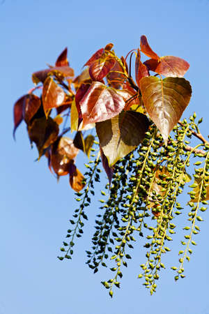 shallow: unusual tree with brown leaves and green hanging fruits on the blue background, note shallow depth of field
