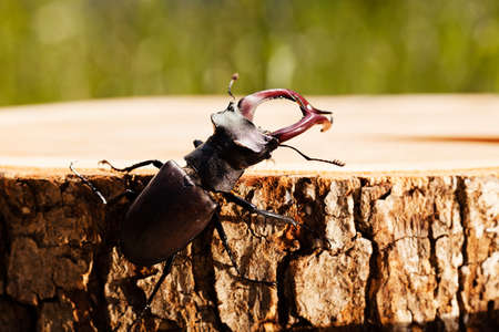 dept: stag beetle on the stump, note shallow dept of field