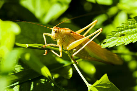 Closeup of a grasshopper sitting on small branch; note shallow depth of field