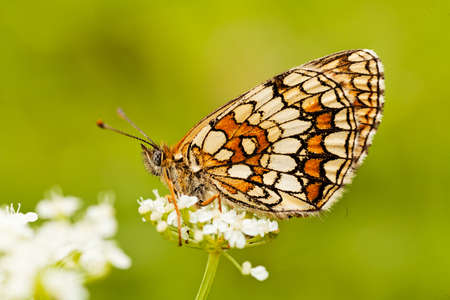 background: Butterfly on a white flower with folded wings, profile,  note shallow dept of field
