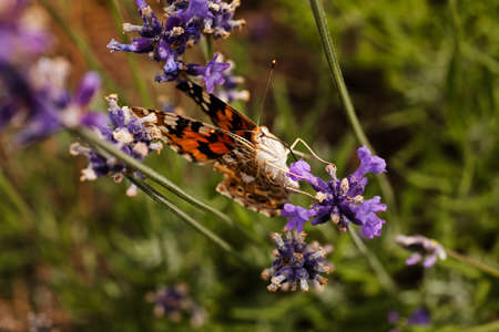 dept: largel ginger butterfly on flower with coupled wings, note shallow dept of field