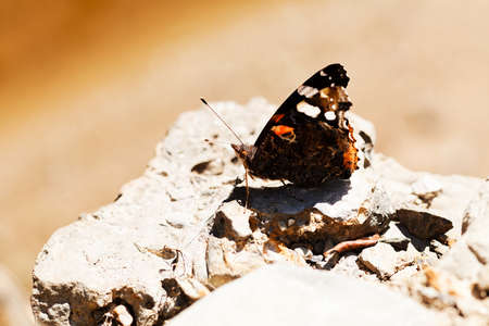 butterfly red admiral on stone, note shallow depth of field