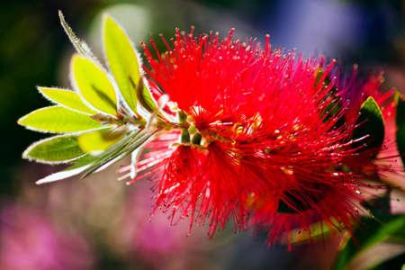 Closeup of beautiful red callistemon flower; note shallow depth of field