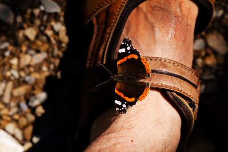 butterfly red admiral on leg, note shallow depth of field