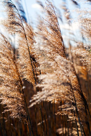 Reeds in a field on the wind against blue sky