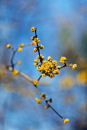Yellow flowers of cornel (cornus mas) shrub, on natural blue background, note shallow depth of field Stock Photo