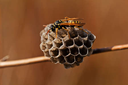 avispa: Wasp and honeycomb on a twig, note shallow depth of field