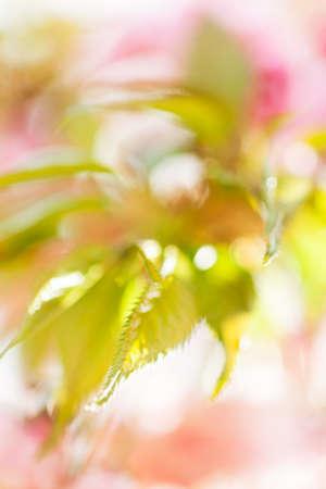 白い背景に抽象ピンクの花,ぼやけた背景のために