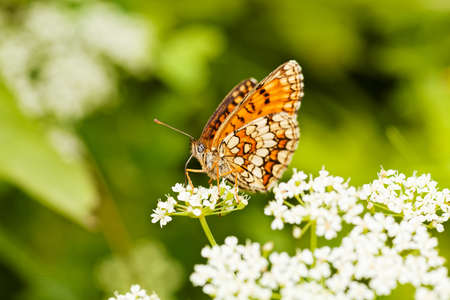 dept: small ginger butterfly on a white flower with spread wings, note shallow dept of field Stock Photo