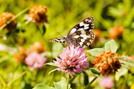Limenitis camilla butterfly em flor com asas espalhadas, nota departamento raso de campo Foto de archivo - 93531051