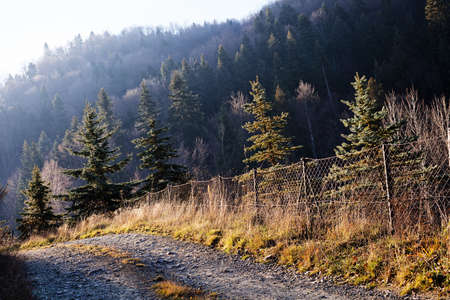 Forest in autumn with  conifers