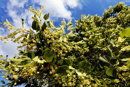 linden tree in bloom, note shallow depth of field Imagens
