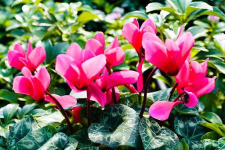 Spring blossom of fresh cyclamen flowers Standard-Bild