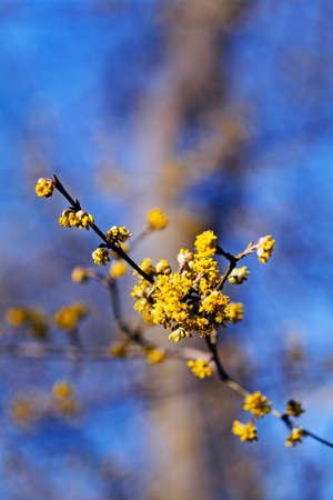 tiefe: Yellow flowers of cornel (cornus mas) shrub, on natural blue background, note shallow depth of field Lizenzfreie Bilder