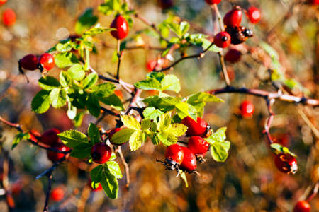 Ripe rosehips in the forest, on natural background; note shallow depth of field