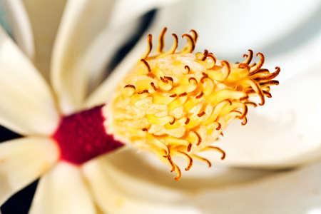 White magnolia blossom with stamen Stock Photo