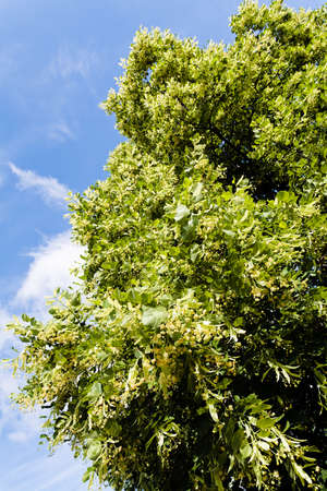 linden tree in bloom, note shallow depth of field Stock Photo
