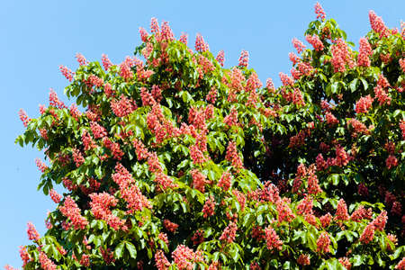Branches of blooming red horse-chestnuts with flowers against blue sky Stock Photo
