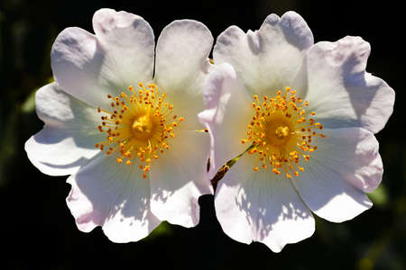 自然な暗い背景に2つの白い花のクローズアップ。被写界深度の浅いメモ 写真素材