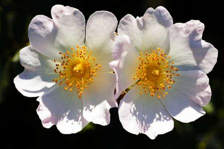 Close up de duas flores brancas em fundo escuro natural; observe profundidade de campo rasa Foto de archivo - 93531188