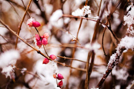 hoarfrost: Closeup of branch with red berries covered with snow; note shallow depth of field Stock Photo